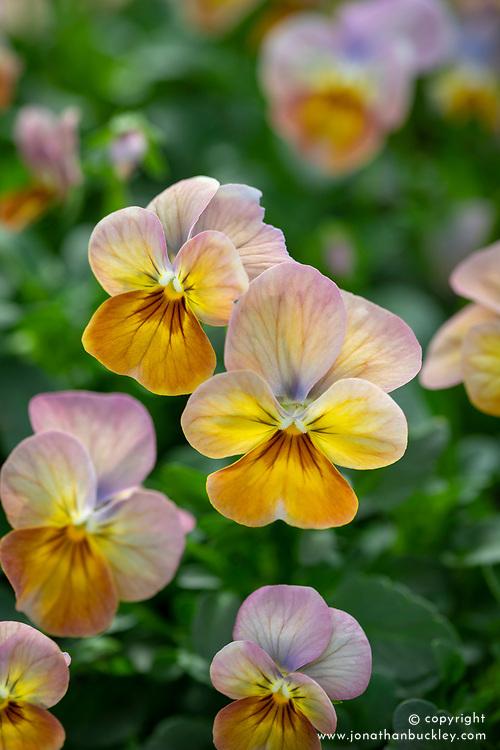 Viola cornuta 'Apricot Antique'
