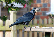 Rook Corvus frugilegus L 43-48cm. Familiar farmland bird. Feeds in large flocks (mainly on soil invertebrates) and occupies noisy colonial tree nest sites. Sexes are similar. Adult has black plumage with reddish-purple sheen. Bill is long, narrow and rather pointed; note bare patch of whitish skin at base. Juvenile is similar but skin at base of bill is feathered. Voice Utters a grating craah-craah-craah… call. Status Locally common resident, found mainly on farmland and grassland. Builds large twig nests in clumps of tall trees.