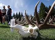 PRICE CHAMBERS / NEWS&amp;GUIDE<br /> Beetle-cleaned elk skulls sit outside the National Elk Refuge office as volunteers sort and stack antlers in preparation for ElkFest.