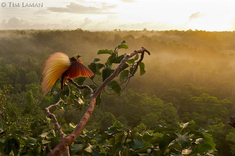 Greater Bird-of-Paradise (Paradisaea apoda)<br /><br />Badigaki Forest, Wokam Island in the Aru Islands, Indonesia.