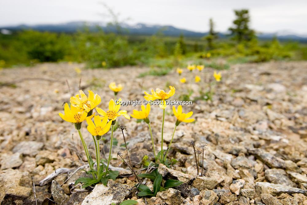 Yellow arnica flowers growing in a rocky opening near the Koktuli River, Bristol Bay, Alaska.