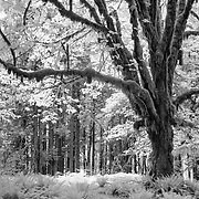 Mossy Giant - Upper Queets Valley - Olympic National Park - Infrared Black & White