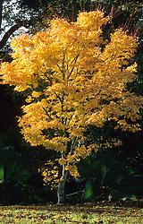 Acer palmatum 'Senkaki' syn Acer palmatum 'Sango-kaku'