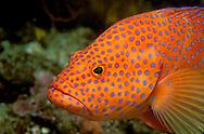 Guardian of the reef - tropical coral trout, Wakaya island, Fiji