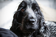 Local dogs in London - this is Henry, my blue roan cocker spaniel