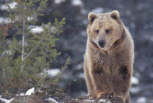 Grizzly Bear, (Ursus horribilis) Portrait of adult. Montana. Captive Animal.