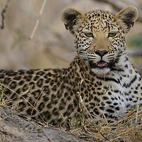 Leopard (Panthera pardus), juvenile. Ngamiland, Botswana.