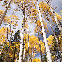 A stand of bright, golden leafed aspens reach skyward near Flagstaff, Arizona.