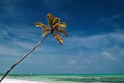 Africa. Tanzania. Zanzibar. Jambiani..Palm tree and lovely beach..CD0010