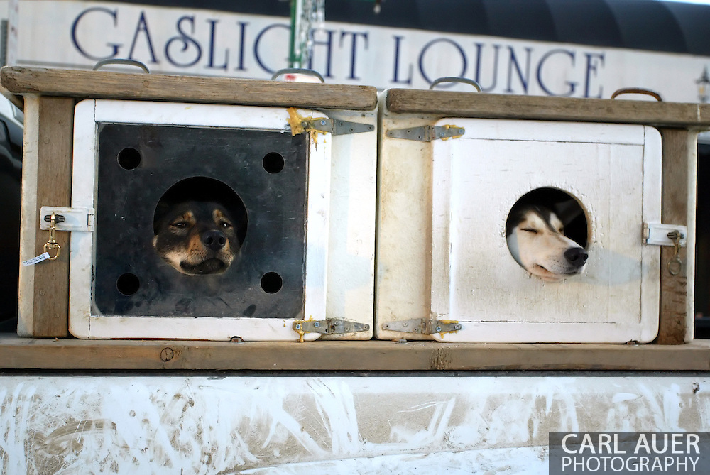 3/3/2007:  Anchorage Alaska -  Two dogs from the team of Veteran Melanie Gould of Talkeetna, AK relax in front of the Gaslight Lounge on 4th Avenue in Downtown Anchorage before the start of the 35th Iditarod Sled Dog Race