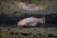Northern Studfish<br />
