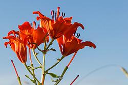 Roggelelie, Lilium bulbiferum subsp. croceum