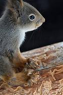 Eurasian red squirrel, Sciurus vulgaris, in its norther, grey winter coat, sitting on a tree in Kalvtrask, Vasterbotten, Sweden