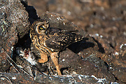 Short-eared owl (Asio flammeus galapagoensis) feeding on Galápagos shearwater (Puffinus subalaris)<br /> Tower Island<br /> GALAPAGOS,  Ecuador, South America<br /> ENDEMIC SUBSPECIES