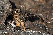 Short-eared owl (Asio flammeus galapagoensis) feeding on Galápagos shearwater (Puffinus subalaris)<br /> Tower Island<br /> GALAPAGOS,  Ecuador, South America<br /> ENDEMIC SUBSPECIES