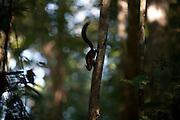 Linhares_ES, Brasil...Reserva Natural da CVRD (Companhia Vale do Rio Doce)...Natural Reserve of CVRD (Companhia Vale do Rio Doce)...Foto: LEO DRUMOND / AGENCIA NITRO