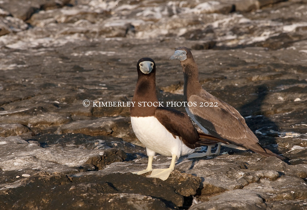 A pair o f Brown Boobies (Sula leucogaster) rest on the shoreline of the Lacepede Islands, on the remote Kimberley coast.  The Lacepedes, named by Nicolas Boudin in 1802, after the Compte de Lacepede, are a major bird and turtle nesting site.