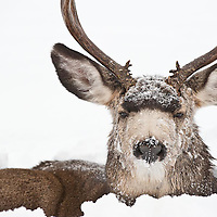 lonely single muledeer buck freezing cold winter snow