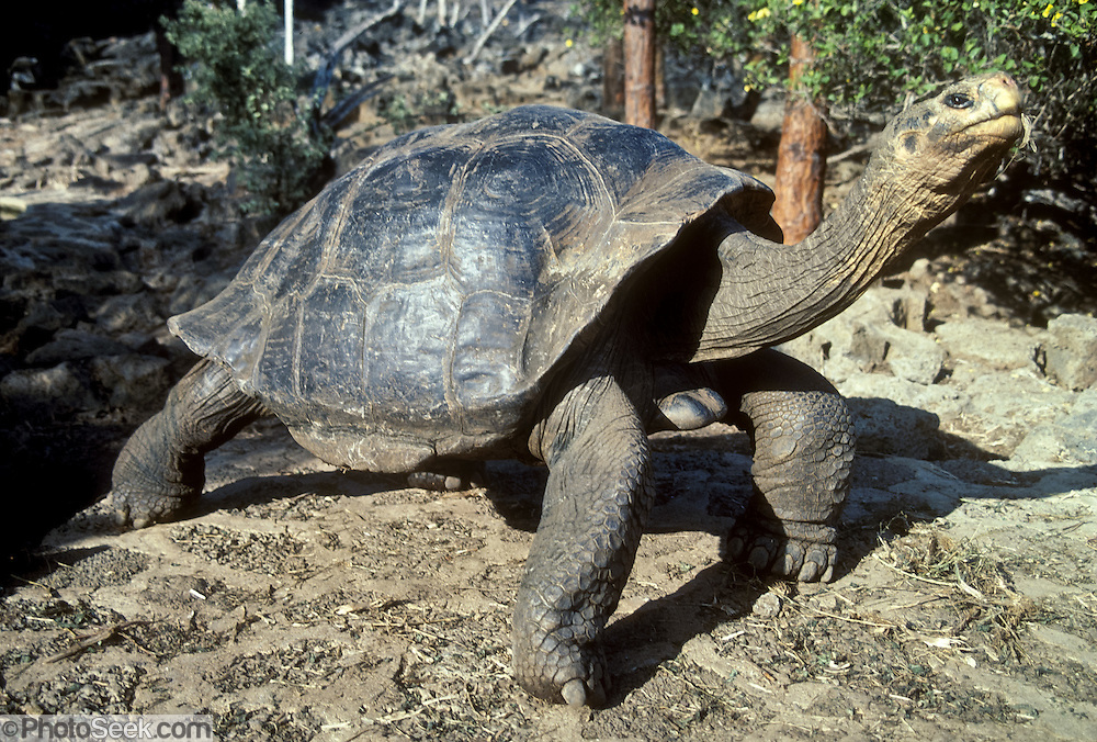 A Galápagos giant tortoise (Chelonoidis nigra, formerly called Geochelone elephantopus) fully extends its legs and neck in a cleaning posture for finches to preen parasites at Charles Darwin Research Station, Puerto Ayora, Santa Cruz Island, Galapagos Islands, Ecuador. This species is the largest living tortoise and is native to seven islands of the Galápagos archipelago. Fully grown adults can weigh over 300 kilograms (661 lb) and measure 1.5 meters (5 feet) over the curve of the shell. They are long-lived with a life expectancy of up to 100-150 years in the wild. Populations fell dramatically because of hunting and the introduction of predators and grazers by humans since the 1600s. Only ten subspecies of the original twelve exist in the wild. Since Galápagos National Park and the Charles Darwin Foundation were established, hundreds of captive-bred juveniles have been released back onto their home islands.
