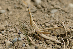 Orthoptera, Rechtvleugeligen, Krekels en sprinkhanen