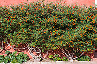 Lantana Camara sage bush inside Santa Catalina monastery in the peruvian Andes at Arequipa Peru