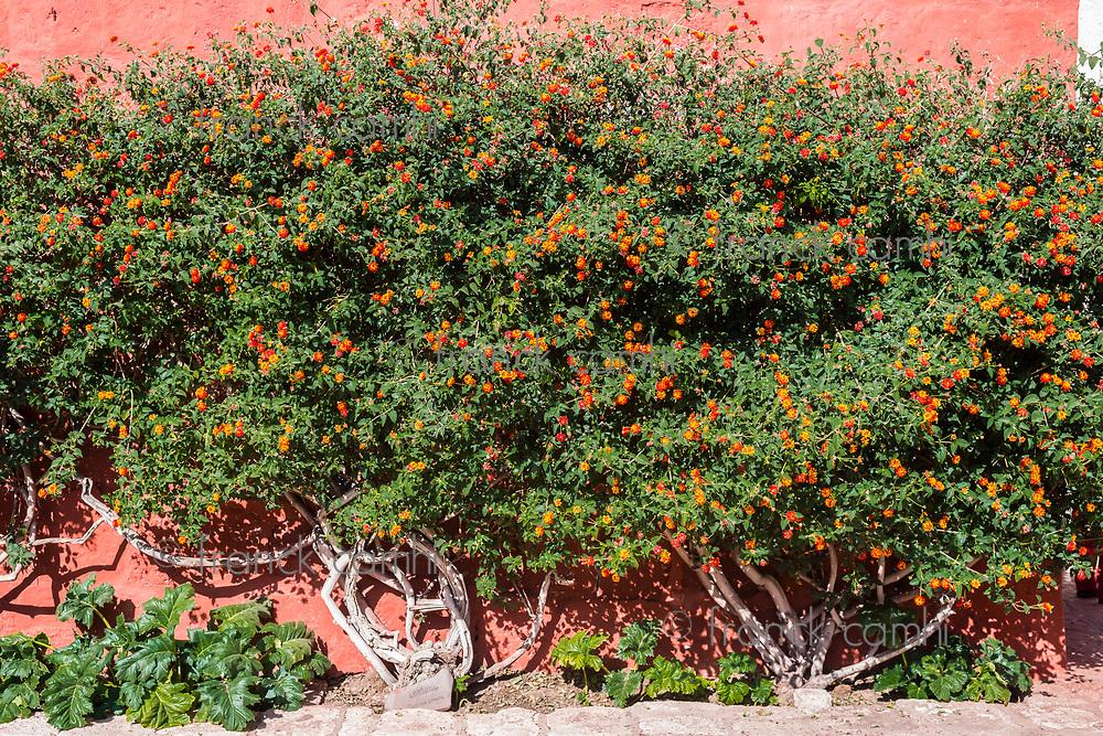 Lantana Camara sage bush inside Santa Catalina monastery in the peruvian Andes at Arequipa Peru