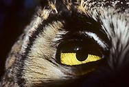Close view of great-horned owl eye, showing eye half shadowed from the upper eyelid, iris closed down for daylight, yellow eye color, feather detail, and the black eye ring at the periphery, © 1983 David A. Ponton
