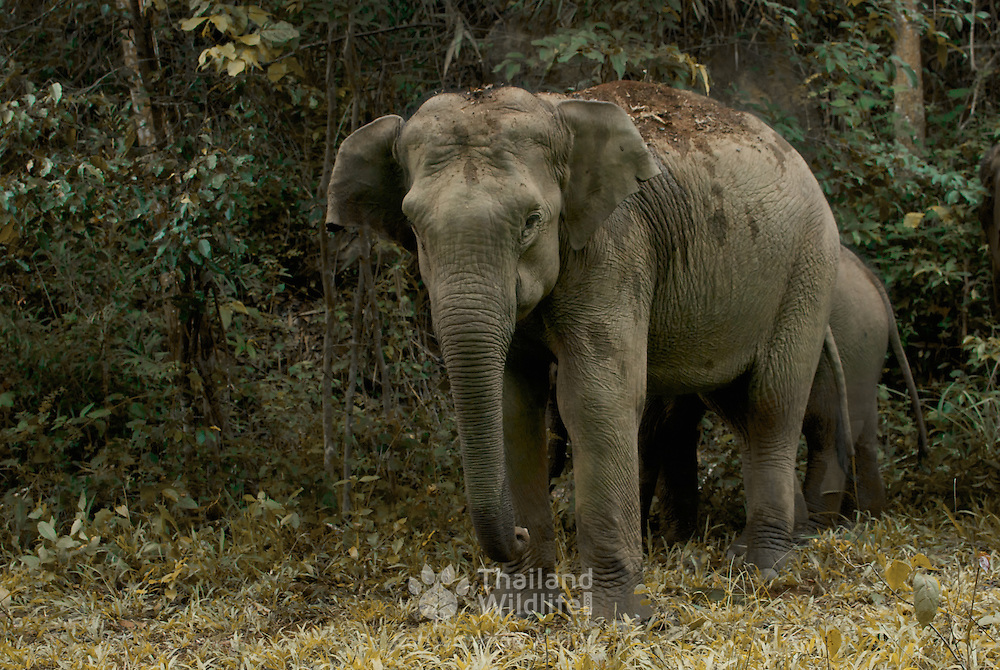 The endangered Asian or Asiatic elephant (Elephas maximus) is the only living species of the genus Elephas and is distributed in Southeast Asia  E. m.
