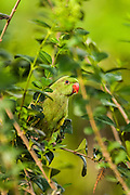 Israel, female Rose-ringed Parakeet (Psittacula krameri), AKA the Ringnecked Parakeet in a tree. The Rose-ringed Parakeet has established feral populations in various parts of the world including Israel, competes with the local wildlife and is considered a pest