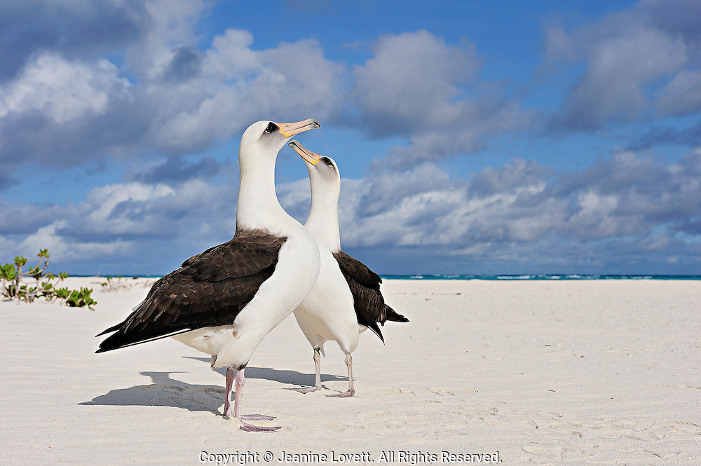 Layson albatross, Phoebastria immutabilis. Midway Island. Layson Albatross reach for the sky as they do their courtship dance.
