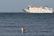 Sea gull swims in Sea of Cortez as Lindblad ship, Sea Lion,  anchors in distance;  Puerto Gato, Baja, Mexico.