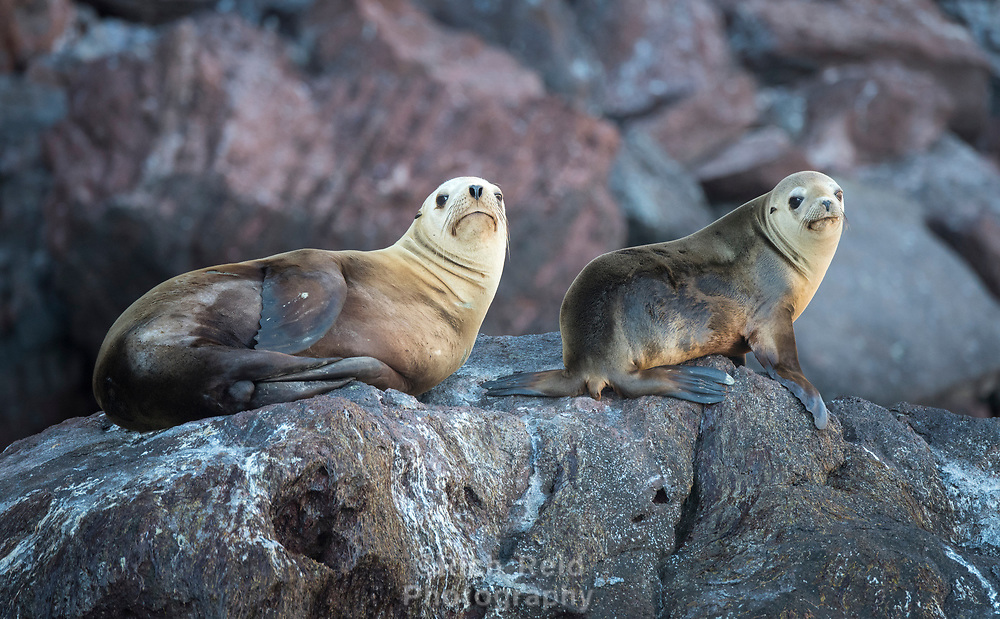 California Sea Lions in Isla San Pedro Martir Biosphere Reserve in the Gulf of California, Mexico.
