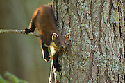 Pine marten (Martes martes) youngster in pine tree in woodland, Beinn Eighe National Nature Reserve, Wester Ross, Scotland, UK