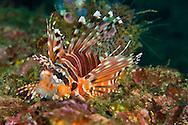 Alberto Carrera, Spotfin Lionfish, Pterois antennata, Lembeh, North Sulawesi, Indonesia, Asia