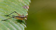 Field cricket (Nisitrus vittatus) from Tabin, Sabah, Borneo.