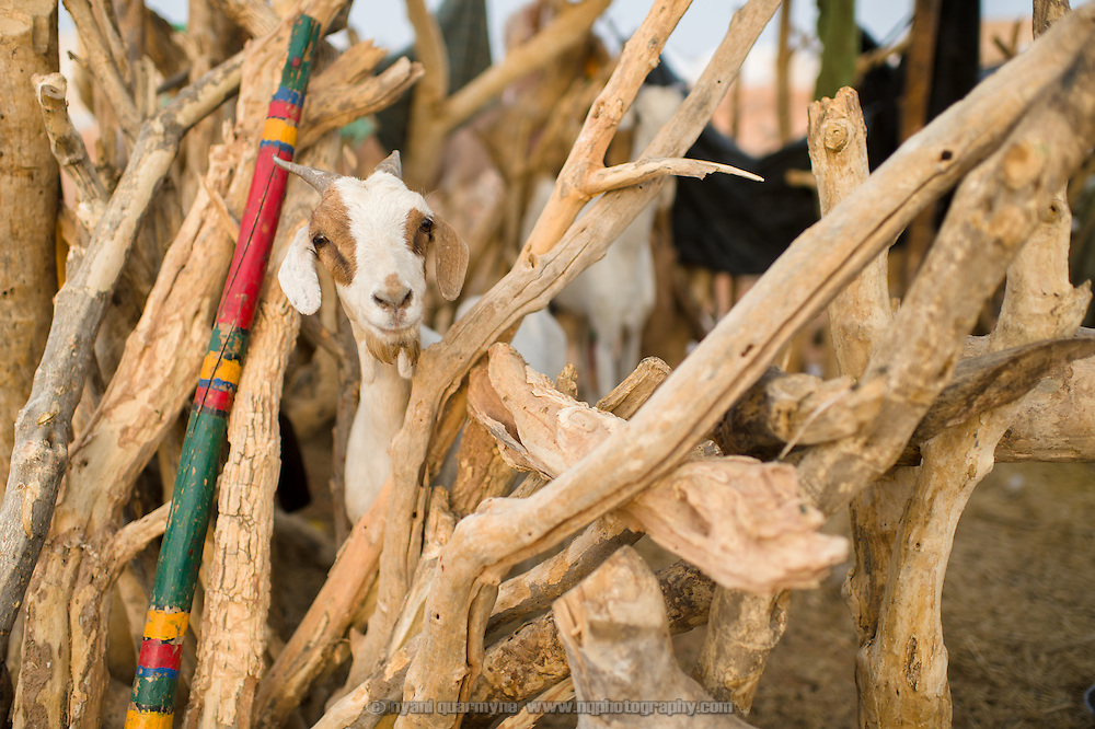 A goat in a wooden enclosure at the Mbera refugee camp for Malian refugees in southeastern Mauritania on 3 March 2013.