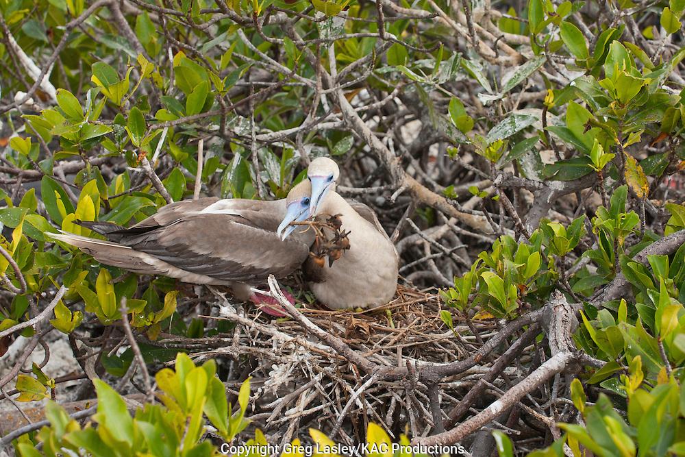Red-footed Booby<br /> Sula sula<br /> male bringing small branch to female<br /> Darwin Bay<br /> Genovesa Island<br /> AKA Tower Island<br /> Galapagos Islands<br /> Ecuador<br /> 23 August 2010