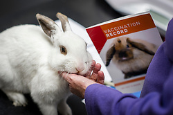 Pet rabbit during a consultation at Rushcliffe Veterinary Centre, West Bridgford, Nottingham, UK.<br />