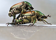 Two mating Japanese beetles.