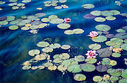 Water Lilies ~ Romantic panoramic sweep of water lilies in a luscious blue pond.<br /> © Laurel Smith