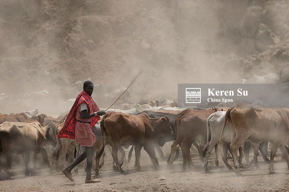 Masai people herding cows, Masai Mara, Kenya