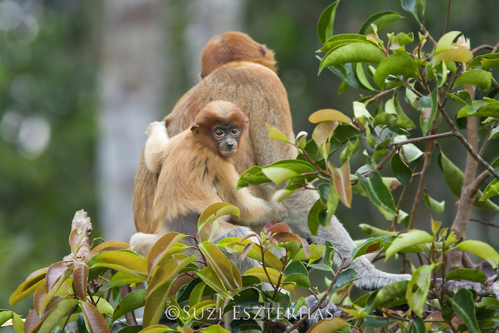 Proboscis Monkey<br /> Nasalis larvatus<br /> 2 month old baby<br /> Tanjung Puting National Park, Indonesia