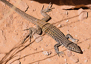 Western whiptail (Aspidoscelis tigris, or Tiger Whiptail) lizard in Monument Canyon in Colorado National Monument, Colorado, USA. This desert land is high on the Colorado Plateau dotted with pinion and juniper forests. This lizard ranges throughout most of southwestern United States and northern Mexico.