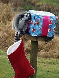 A lemur looks over a Christmas stocking at Whipsnade Zoo, North of London, UK Tuesday December 18, 2012.Photo by Max  Nash / i-Images.