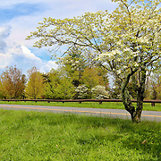 """""""Dogwoods at Dickey Ridge""""<br /> <br /> The wonders of spring in full bloom at Dickey Ridge!!<br /> <br /> The Blue Ridge Mountains by Rachel Cohen"""