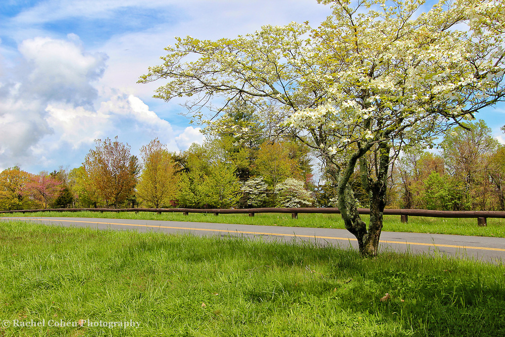 &quot;Dogwoods at Dickey Ridge&quot;<br />