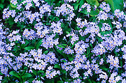 Alaska. Forget-me-not, Alaska State Flower.