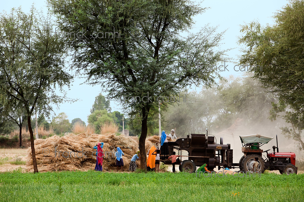 Agriculture in countryside with woman harvesting in rajasthan state in india