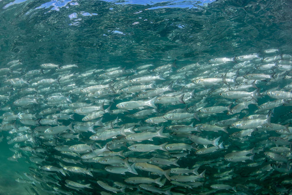A school or shoal of White Mullet, Mugil curema, swims along the beach offshore Singer Island, Palm Beach County, Florida, United States during the annual fall migration.