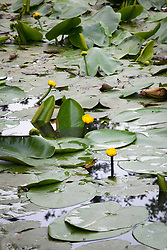 Native Yellow Water-Lily. Nuphar lutea